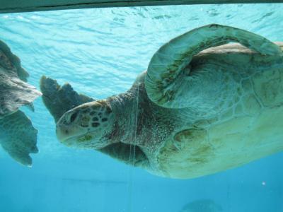 沖縄⑱ ウミガメ
