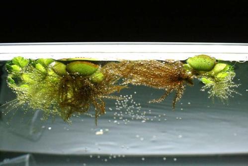 増え続けるオオサンショウモ