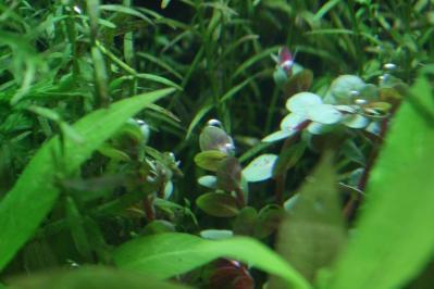 ロタラ水上葉追加(10本)