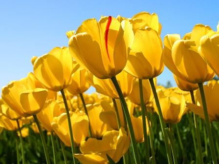 Tulips_s.jpg