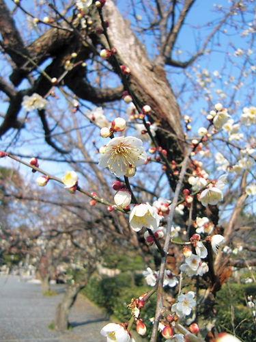 龍淵院の梅