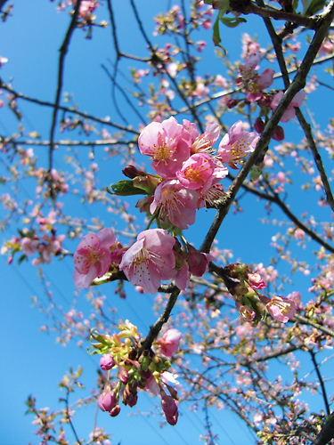 すみよしの桜 (2)