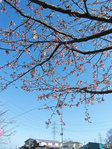 すみよしの桜 (5)