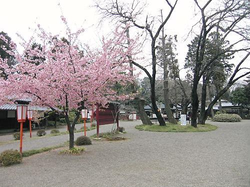 世良田東照宮の河津桜