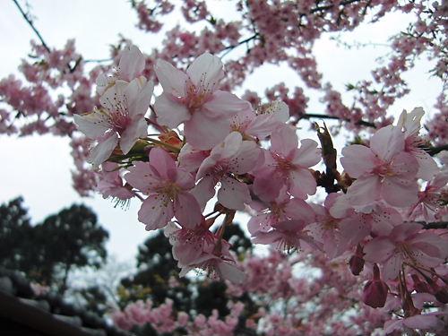 世良田東照宮の河津桜 (2)
