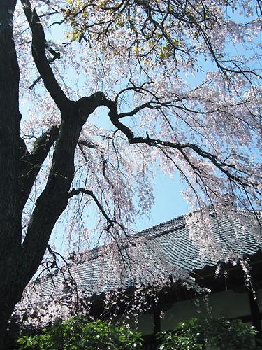 中院の枝垂桜 (3)