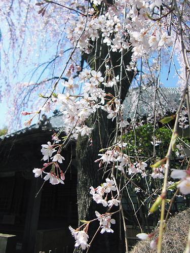 中院の枝垂桜 (2)