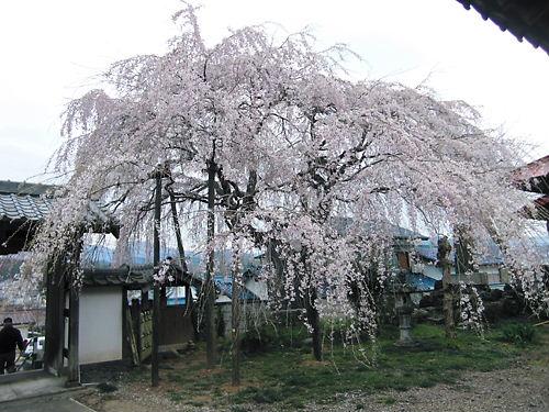 東昌寺枝垂れ (4)