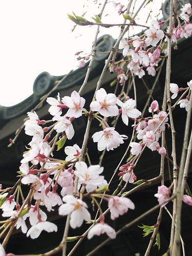 東昌寺枝垂れ (2)