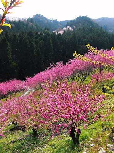 大内沢花桃の郷 (4)