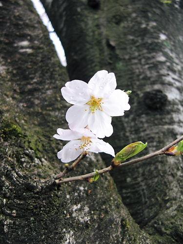 高蔵寺の桜