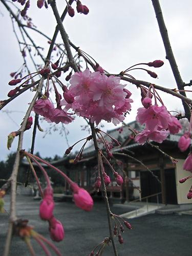 高蔵寺の枝垂