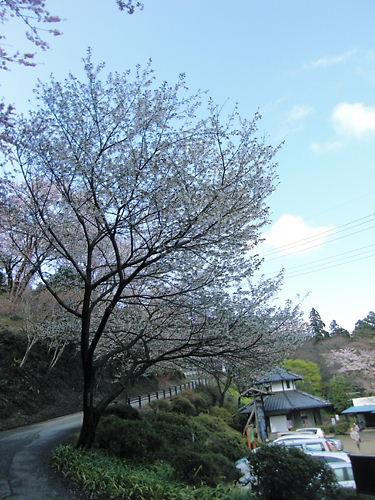 駐車場と大島桜