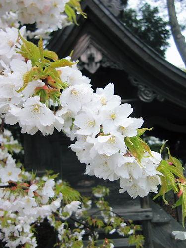 諏訪神社@新発田 (4)
