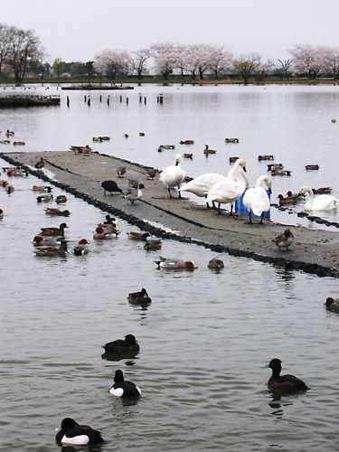 瓢湖 (5)