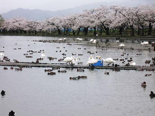 瓢湖 (4)