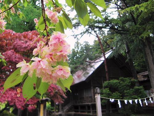 三戸のウコン桜