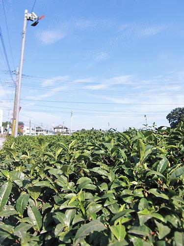 入間の茶畑