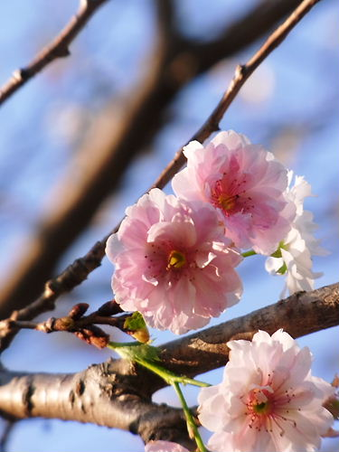 東松山冬桜 (3)