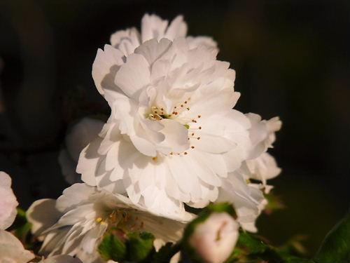 東松山冬桜 (2)