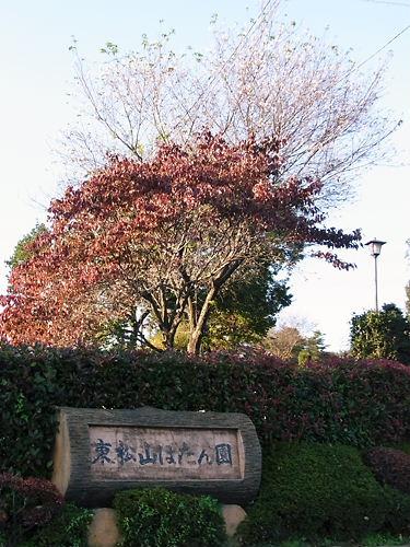東松山冬桜 (4)