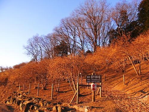 宝登山蝋梅園