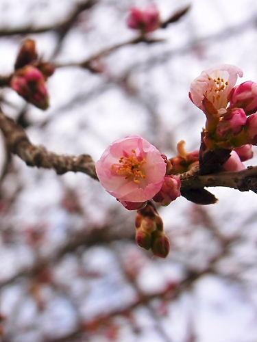 安行桜 (4)