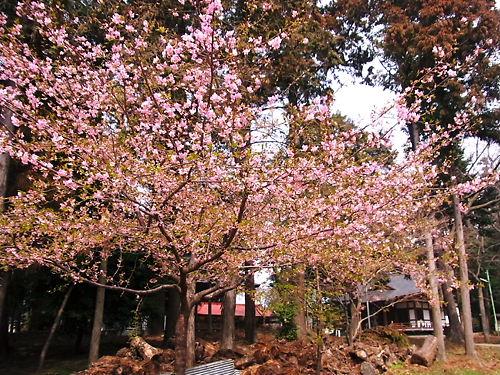住吉河津桜