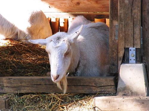 くたびれた山羊