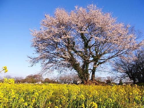 鹿島古墳群の桜