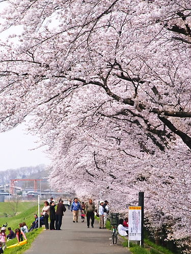 市ノ川桜 (3)