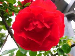 平成の森公園の薔薇 (4)
