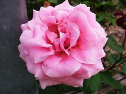 平成の森公園の薔薇 (3)