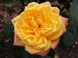 平成の森公園の薔薇 (2)