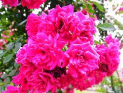 平成の森公園の薔薇