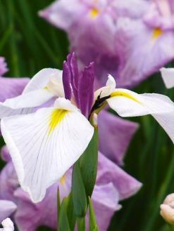 平成の森公園の花菖蒲 (3)