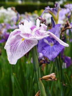 平成の森公園の花菖蒲