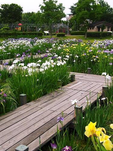 平成の森公園の花菖蒲 (5)