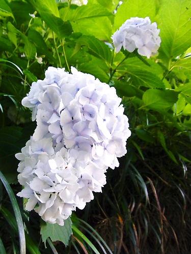 小坂紫陽花