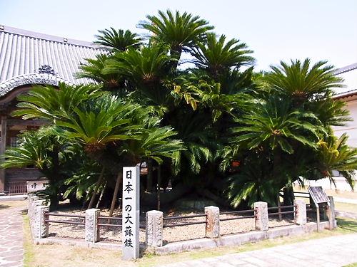 日本一の大蘇鉄