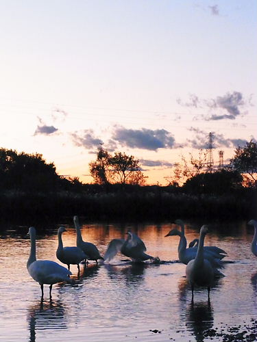 川島の白鳥2011
