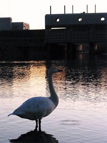 川島の白鳥