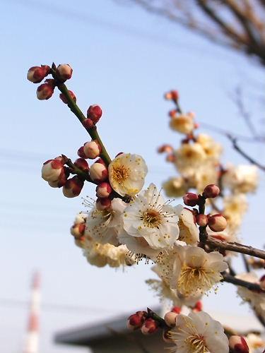 香林寺の梅
