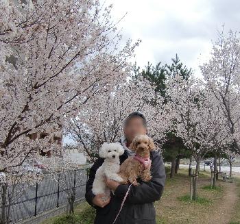 桜テッピーもこみゆ