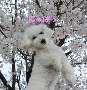 桜とアップみゆ