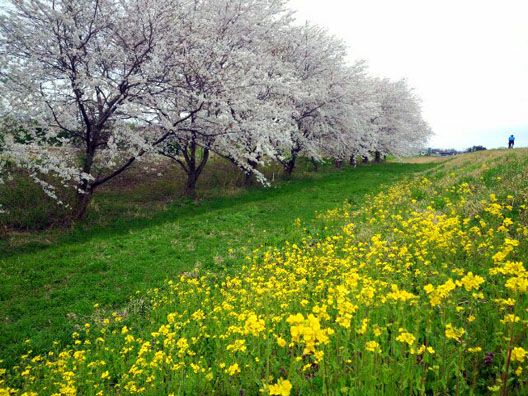 2013 荒川河川敷 桜満開