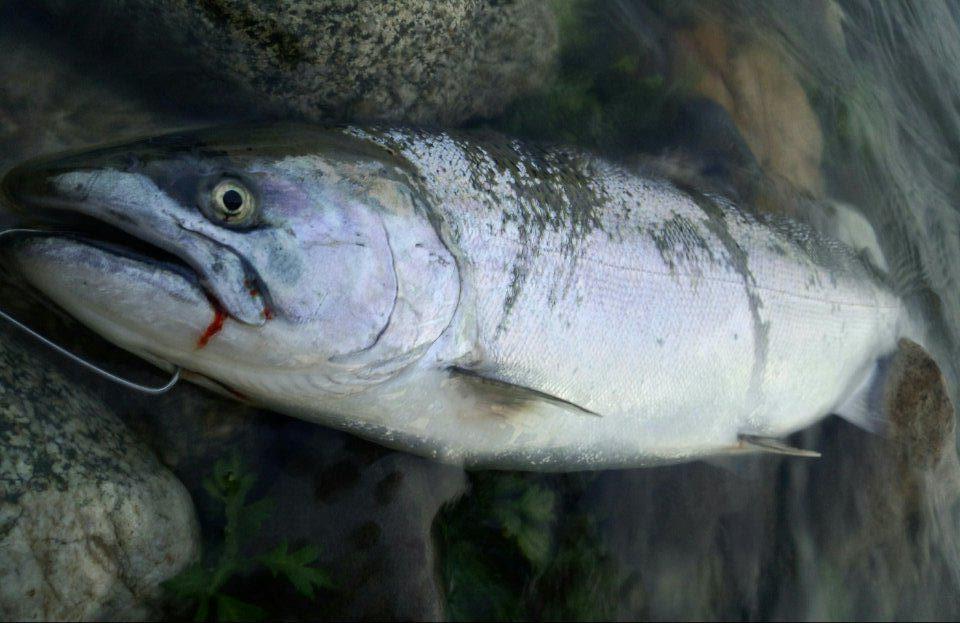 荒川サクラマス釣り 新潟村上