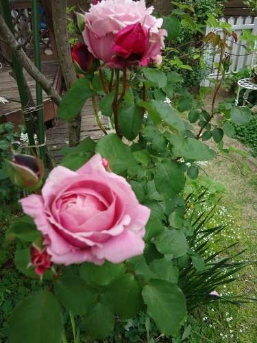bara-chant-rose-misato1.jpg