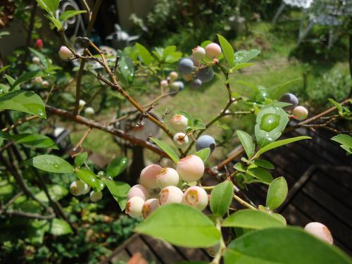 blueberry-moujiki.jpg