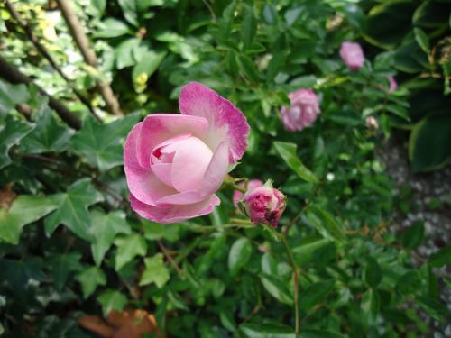 chiisana-pink-bara.jpg